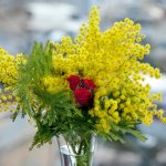 Bouquet di Mimosa con Rose